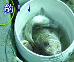 真鯛が良く釣れる新潟寝屋の昭和丸