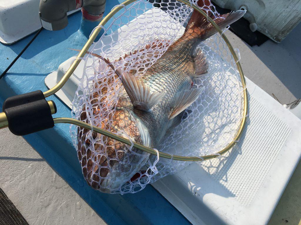 新潟山形春の桜鯛ルアー釣り