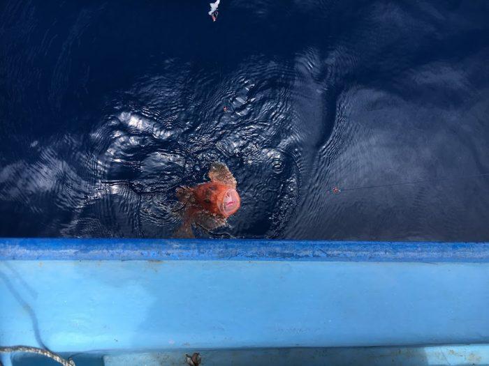 鬼カサゴ高級魚