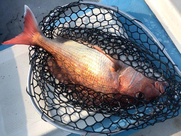 ボトム付近でジグで釣れた桜鯛