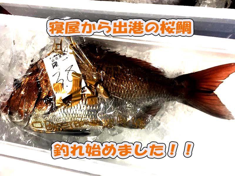 新潟寝屋の桜鯛釣れ始める2020年