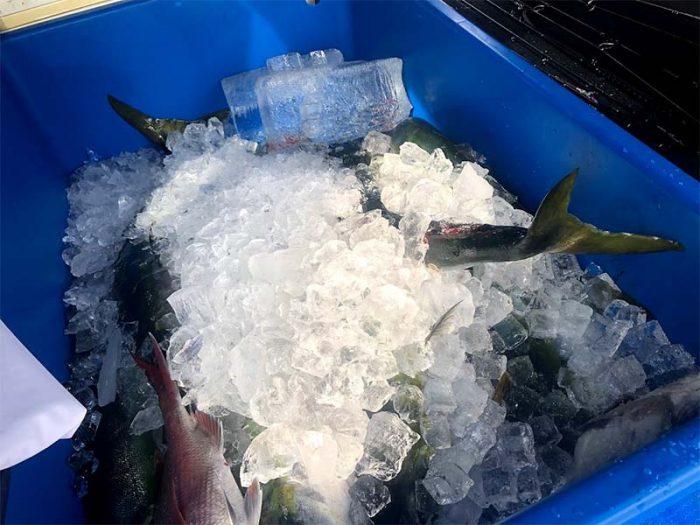 ルアー釣りでブリ大漁