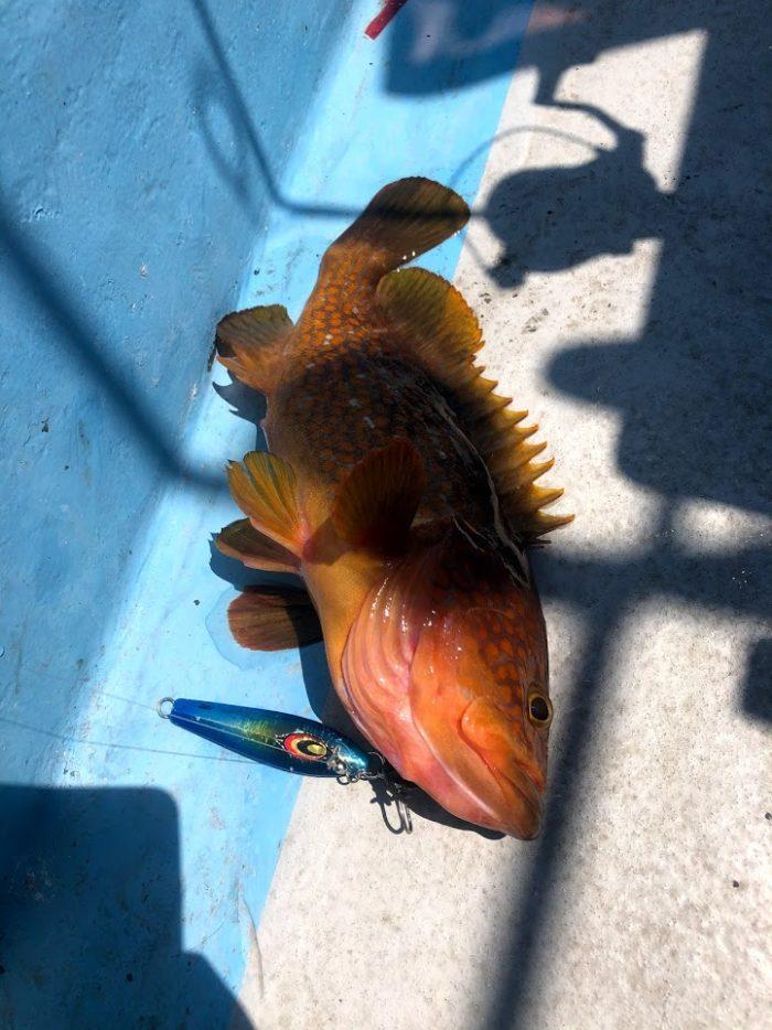 ジギングで釣れた高級魚キジハタ