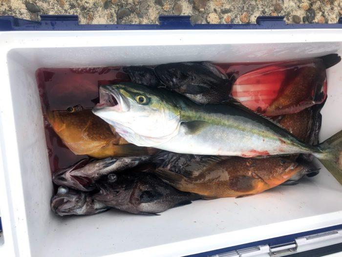 粟島海域で釣った魚種はイナダ、ワラサ、ソイ、高級根魚