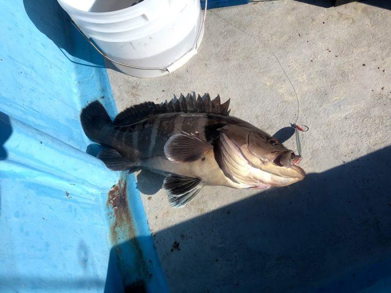 ジギングで釣れた大型マハタ