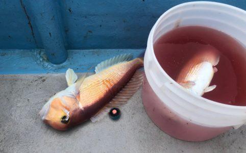 寝屋漁港でタイラバ良型アマダイ