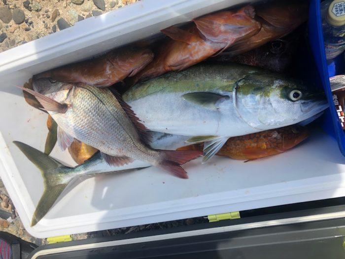 大瀬ライトジギングで釣れた大型真鯛と青物と根魚