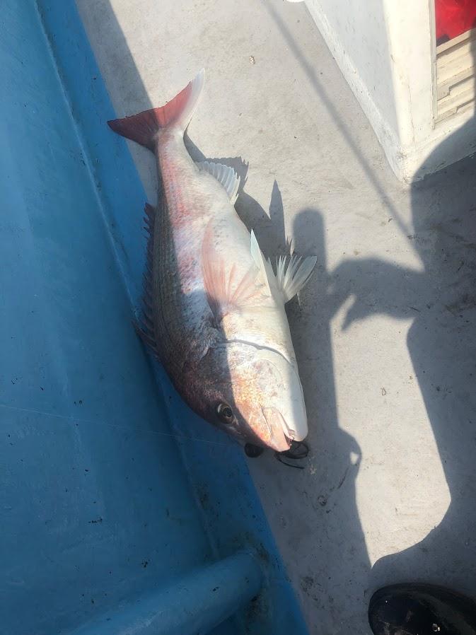 大鯛をカブラで釣り上げる