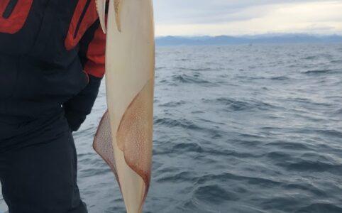 ジグで釣れたヤリイカ、ケンサキイカ