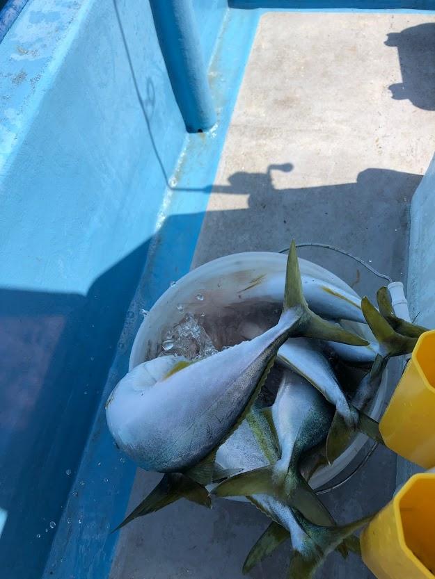 イナダが入れ食いでカツオの一本釣り状態