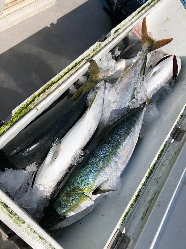 ブリ釣り大漁のクーラーボックス