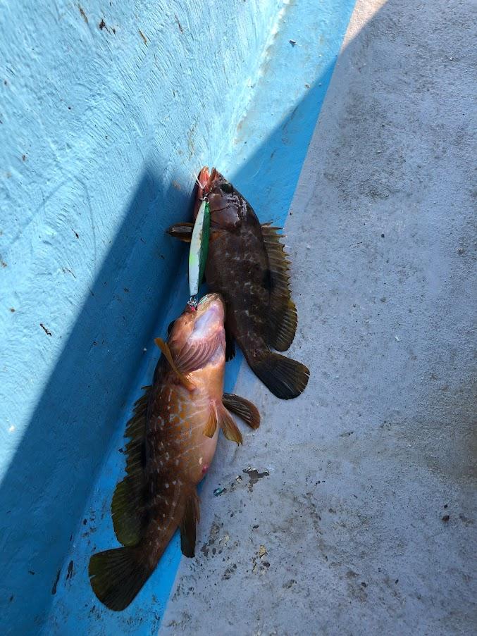 ジグで同時に二匹のキジハタが釣れた
