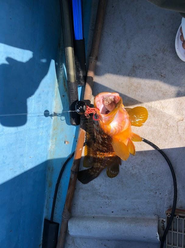 タイラバでキジハタが良く釣れる